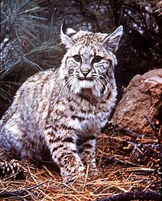 Bobcat in mountains