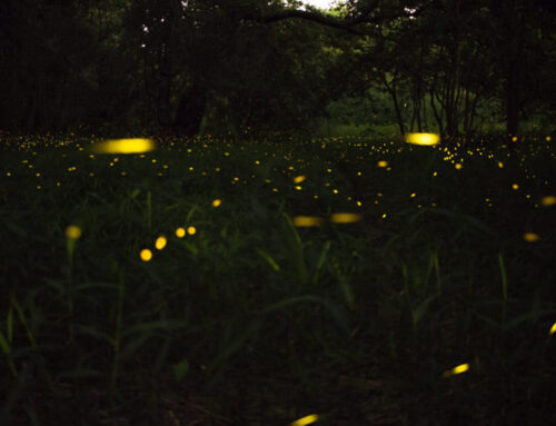 Light Up Your Summer with Fireflies in the Smoky Mountains